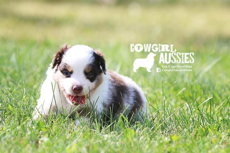 Toy Australian Shepherd (With images) Toy australian