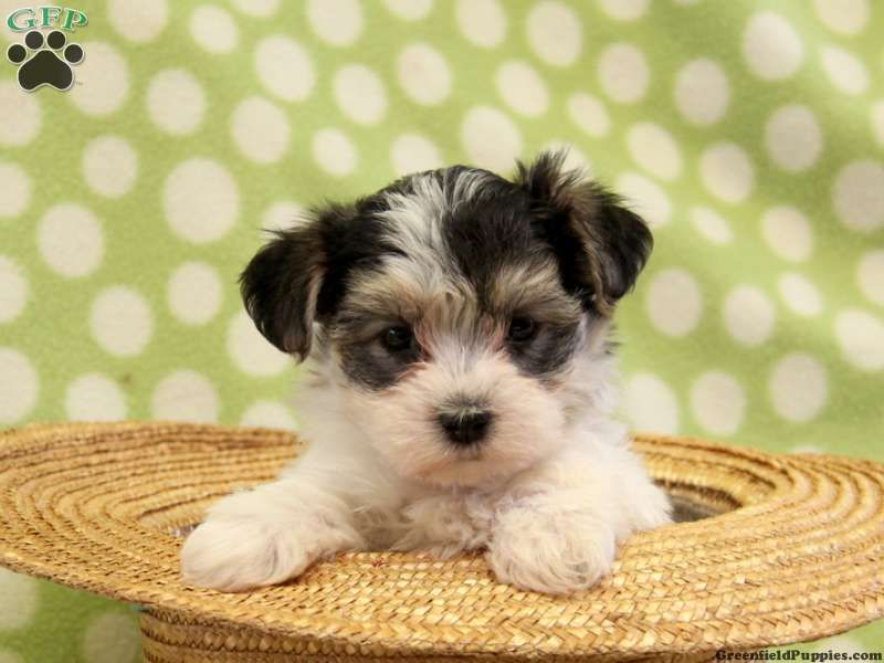 Morkies+for+Sale+in+Ohio Morkie / Yorktese Puppies For