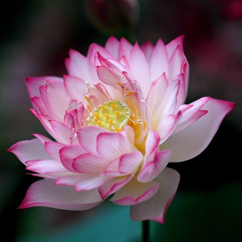 Lotus, India's National Flower Flowers Pinterest