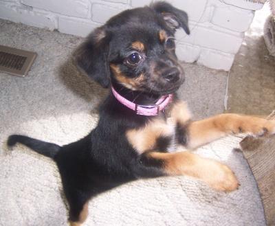 Chipin Photos Puppy Mix Chiwawa Puppies Chihuahua