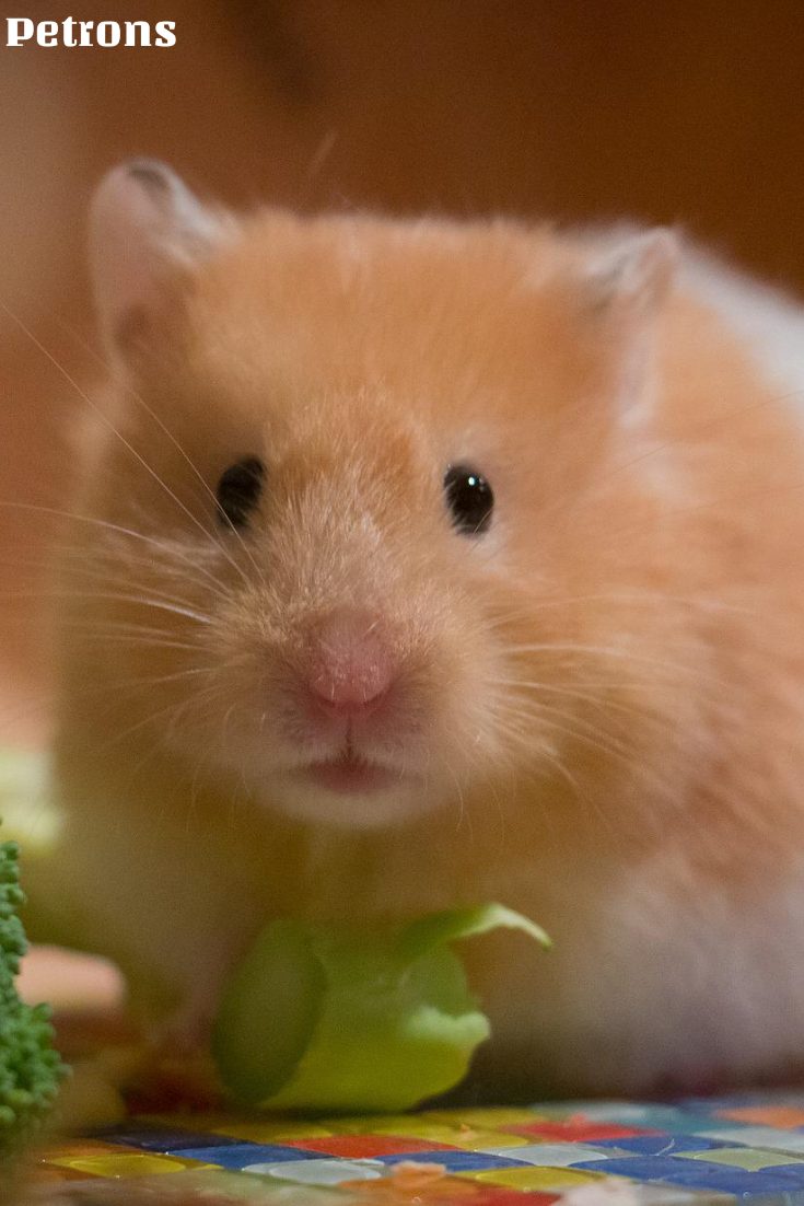 Hamster Fact Being Nocturnal Creatures They Usually Sleep During How To Build Animals Whisker The Day And Play Explore At Night