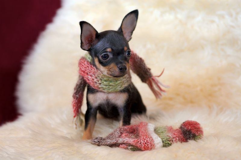 Russian Toy Terrier Tiny Dog Breeds Dog Toys Russian Toy Terrier