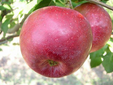 яблоня флорина описание сорта фото