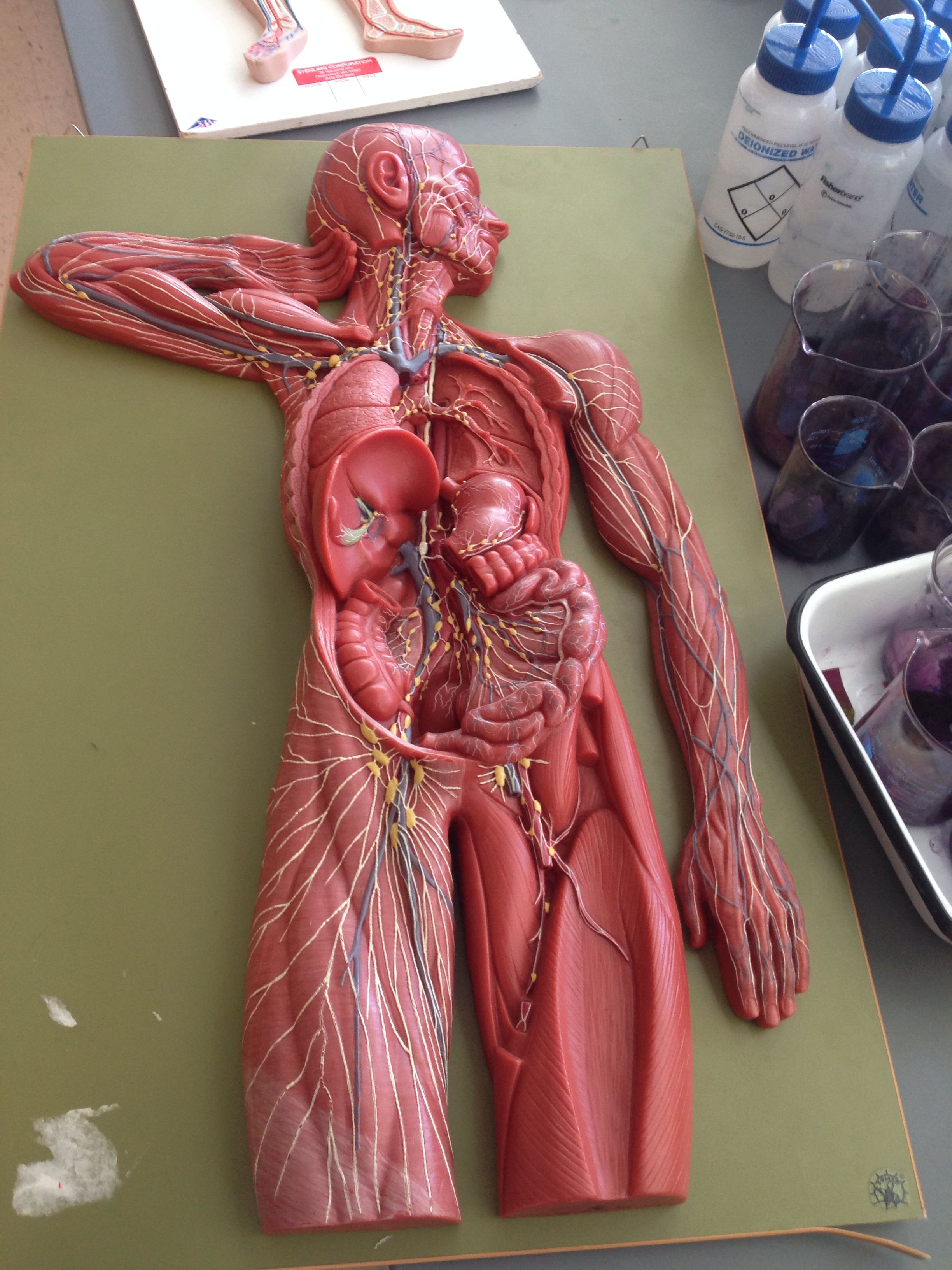 Lymphatic system model | Anatomy and physiology 2 pictures ...