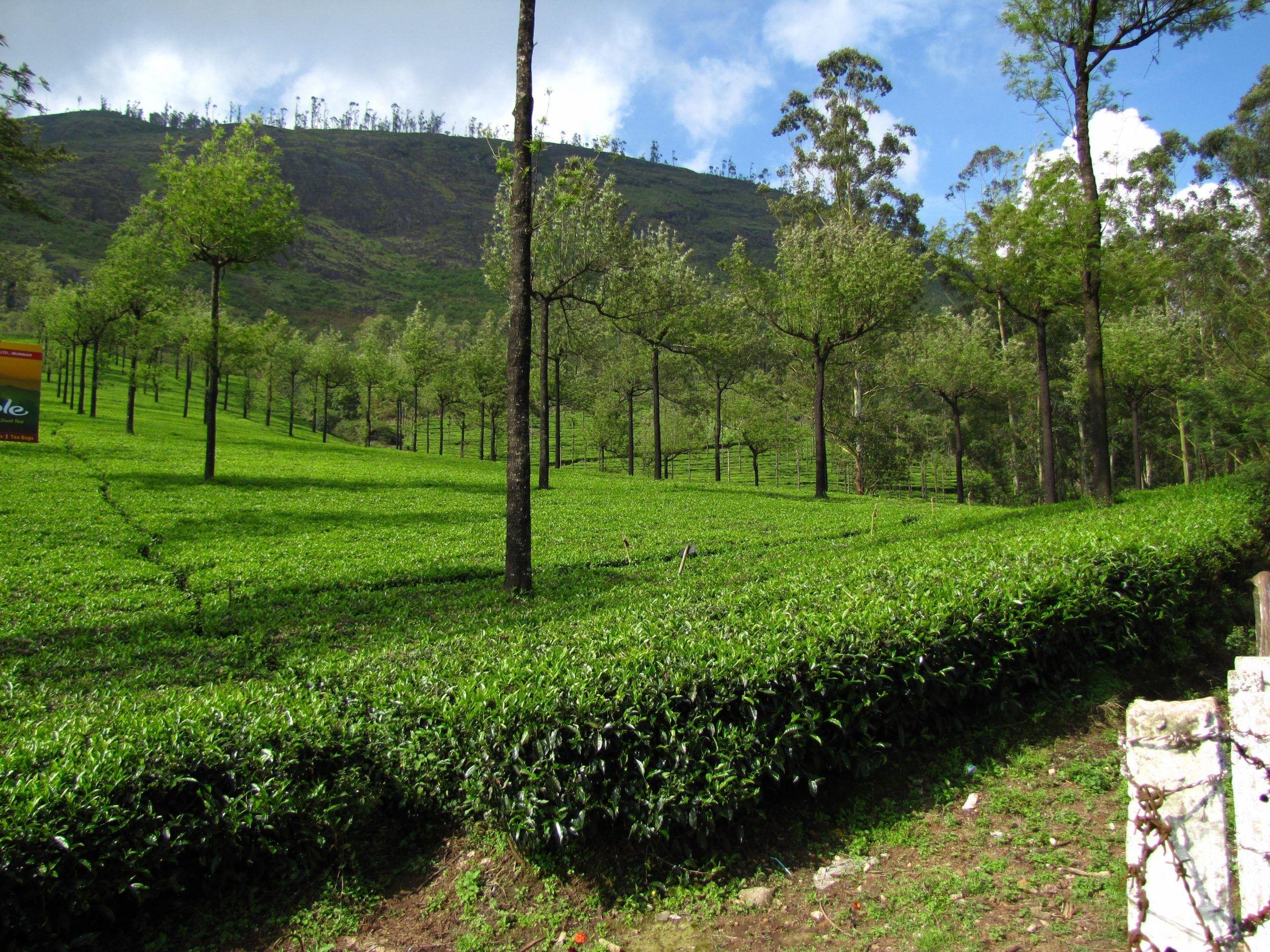 Tea Gardens in Munnar Kerala Indiagardens india kerala