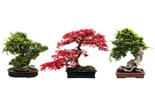 Der Bonsai Baum Im Interior Design Eine Kunst Verwurzelt In