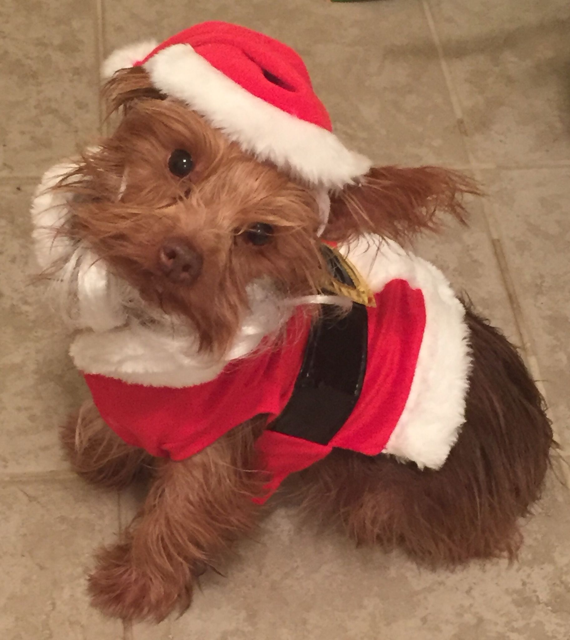 My chocolate yorkie Reese, a puppy mill rescue. Adopt, don