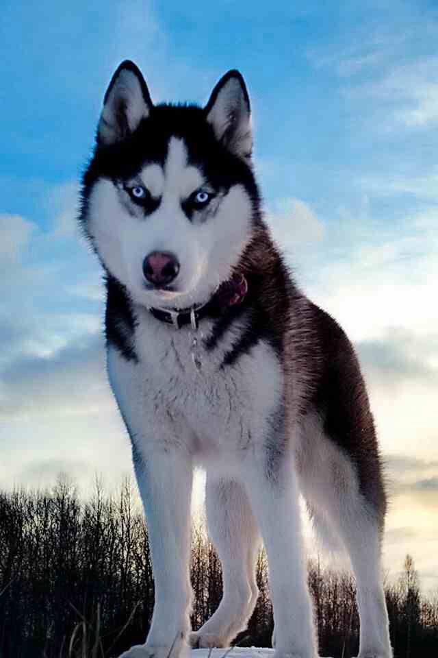 Alaskan Husky Dogs Beautiful Dogs Husky Dogs