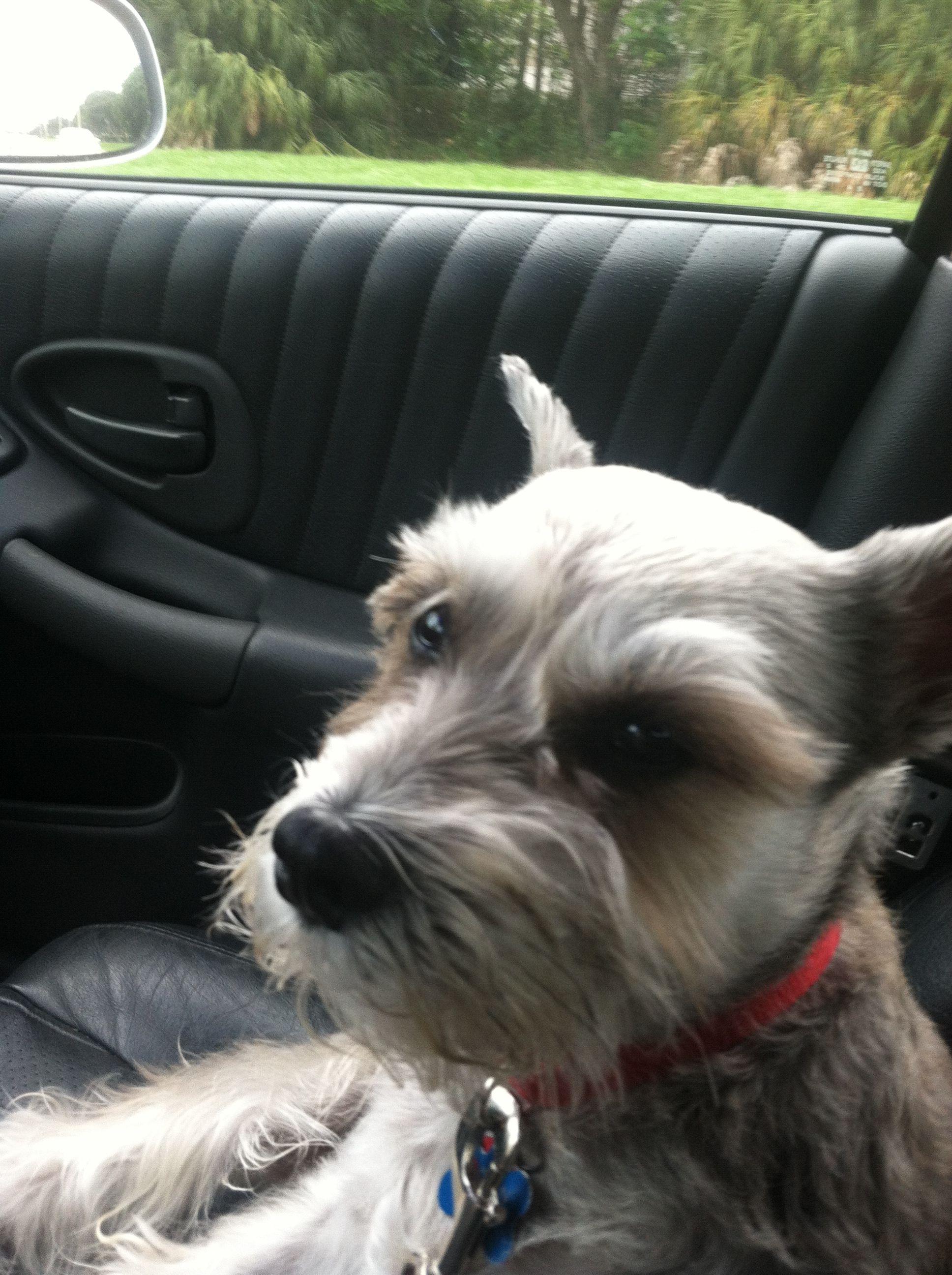 OK DAD where am I going?? Schnauzer puppy, Mini