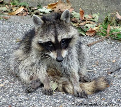 (Photo) Raccoon in Morton Grove on Labor Day #mortongrove