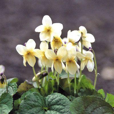 Viola odorata, tuoksuorvokki 'Sulphurea'. Mv., aur.