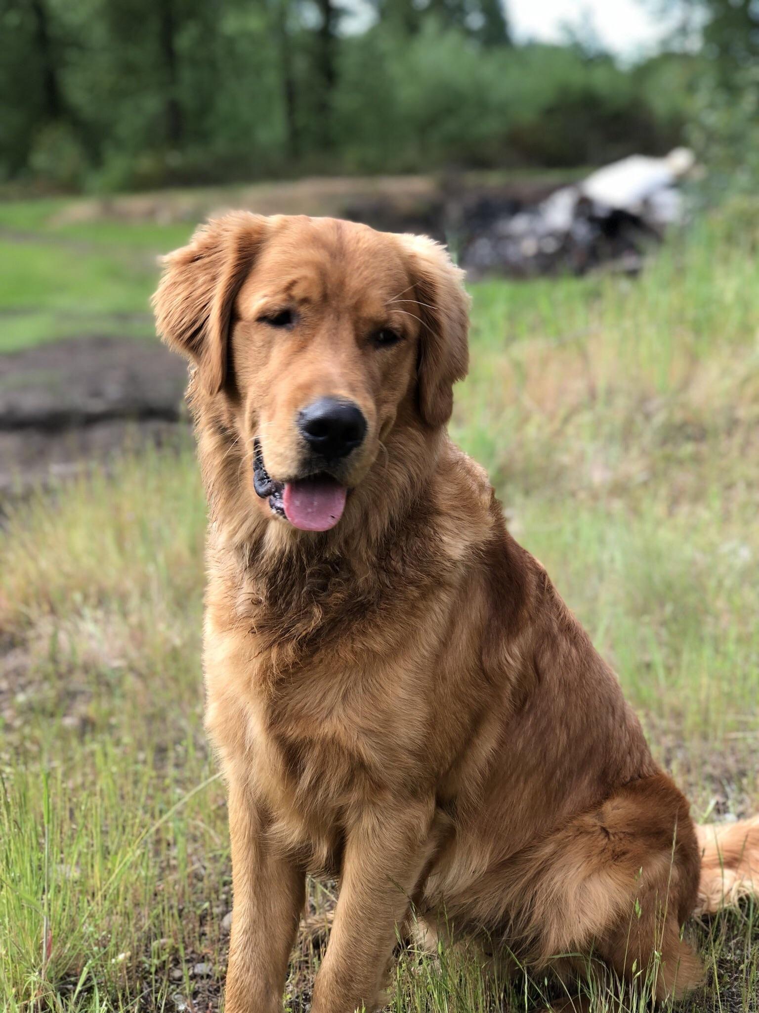 Reddit Meet Tank Goldens Meet Dogs