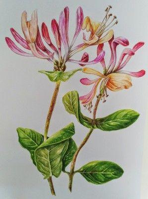 My Painting Of The Honeysuckle Lonicera Or In Dutch Kamperfoelie Floral Watercolor Watercolor Flowers Botanical Art