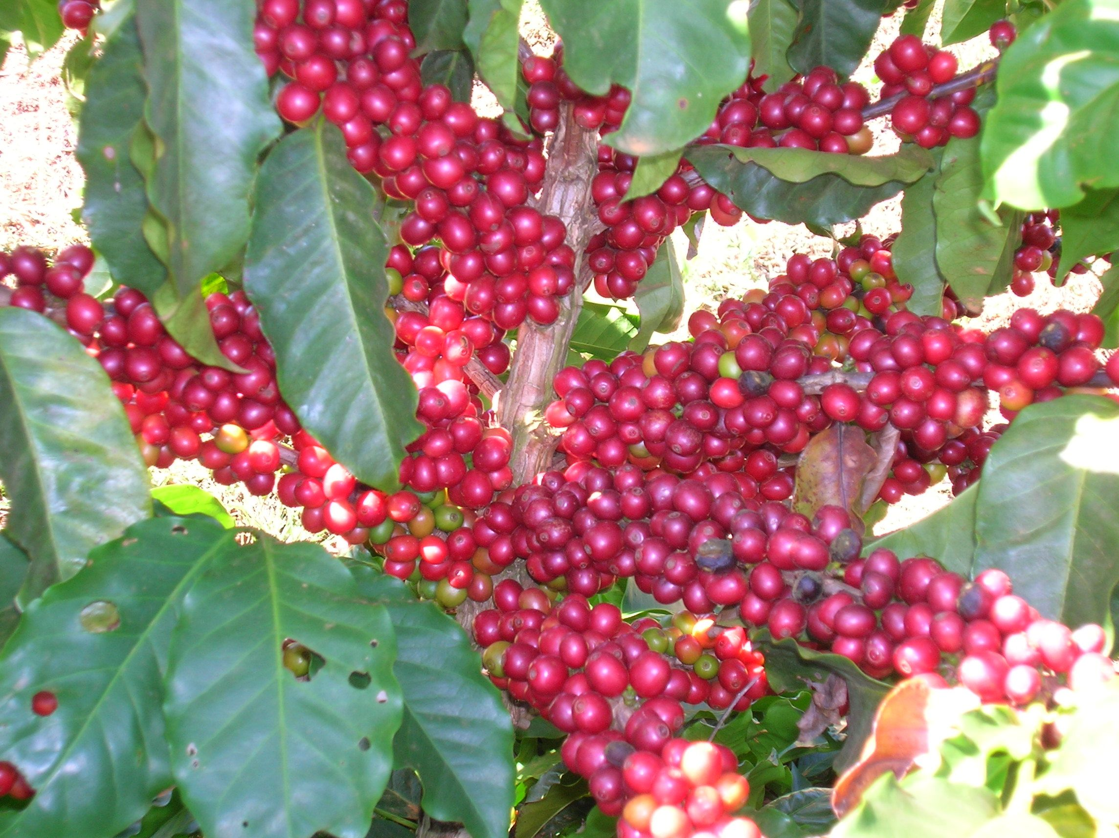 Coffee Tree Displaying 19 Images For Coffee Tree Coffee Tree Coffee Plant Coffee