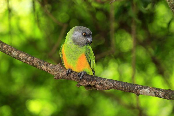 The Senegal Parrot Is A Smaller Species That Makes A Delightful Pet Senegal Parrot Pet Birds Parrot