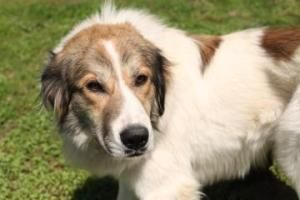 Adopt Apache On Petfinder Great Pyrenees Dog Collie Mix Great Pyrenees