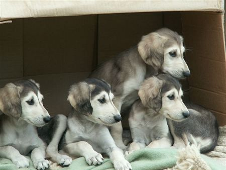 Saluki puppies, how could you leave with only one!?!