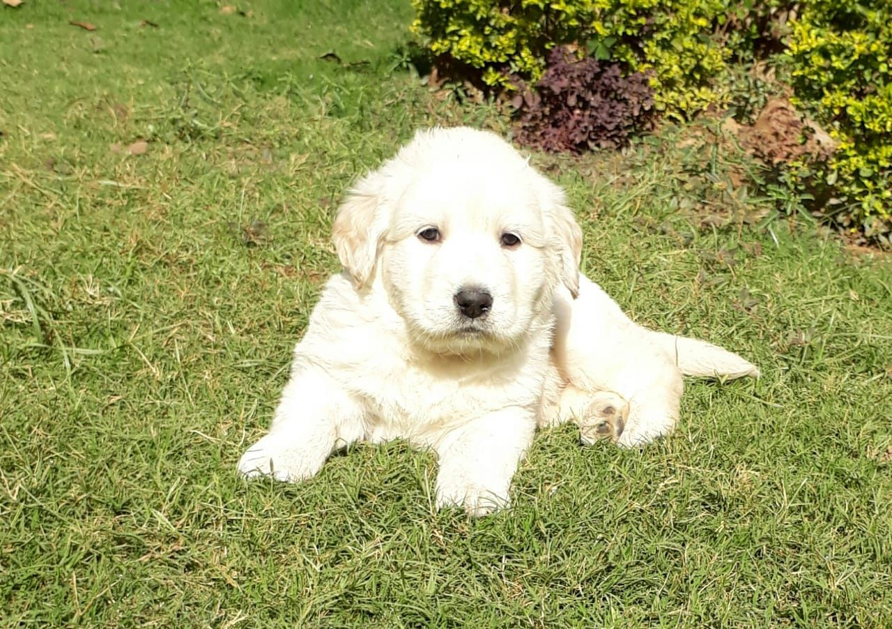 Goldenretriever Puppy Pet Shop Pets Puppies
