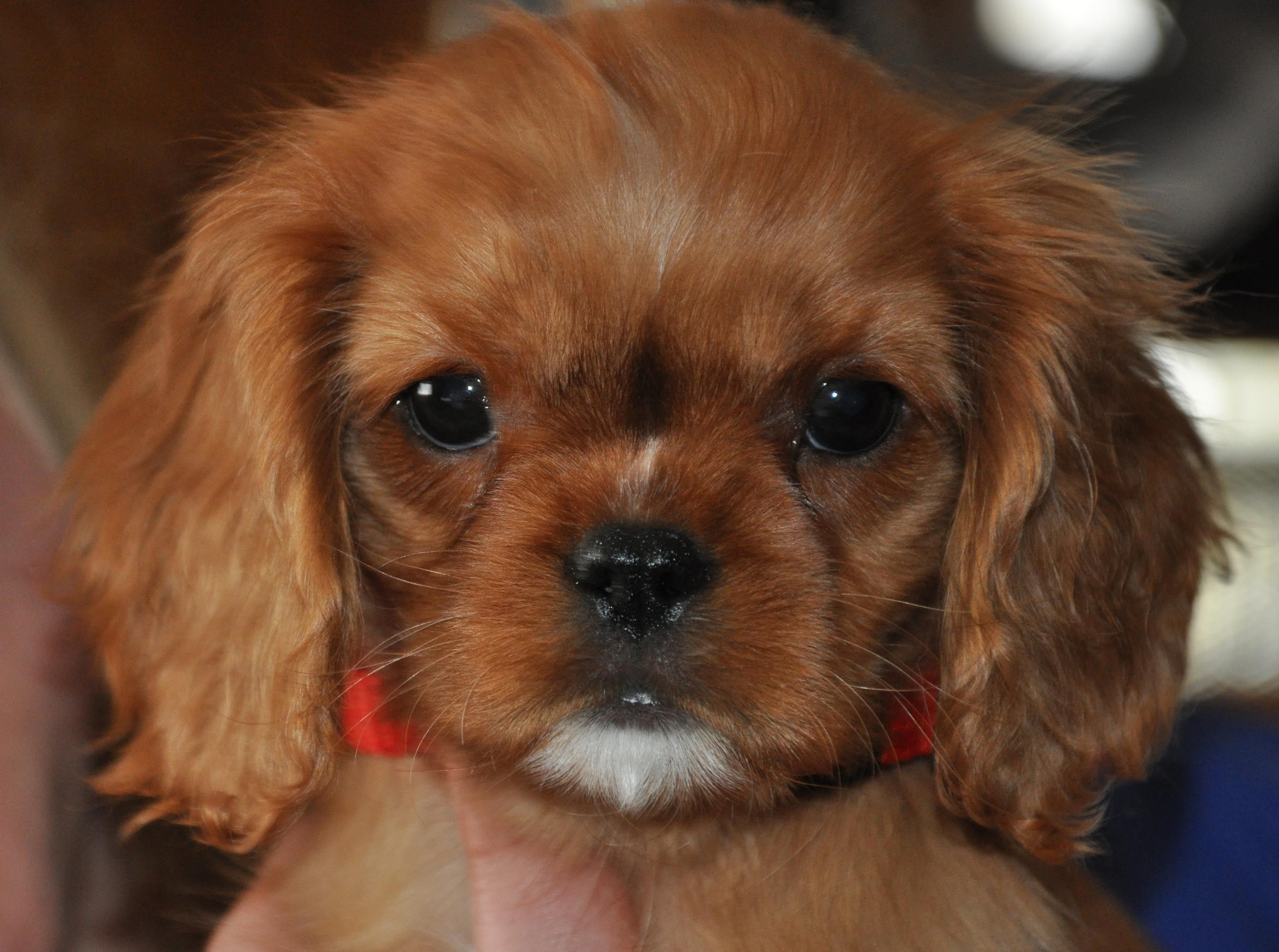 House Of Small Dogs Breeds Image Search Breeds Of Small House Dogs Short Haired Dog Breeds Short Haired Dogs Small Dog House