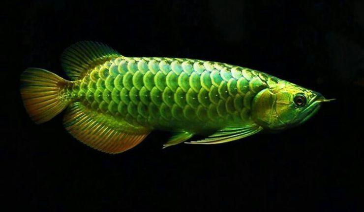 9 Jenis Ikan Arwana Lengkap Beserta Cara Memeliharanya Ikan Ikan Air Tawar Ikan Akuarium