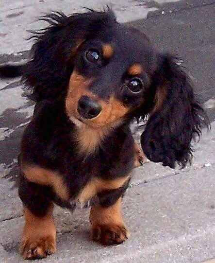 Did You Say Walk Dogs Dachshund Puppies Long Haired