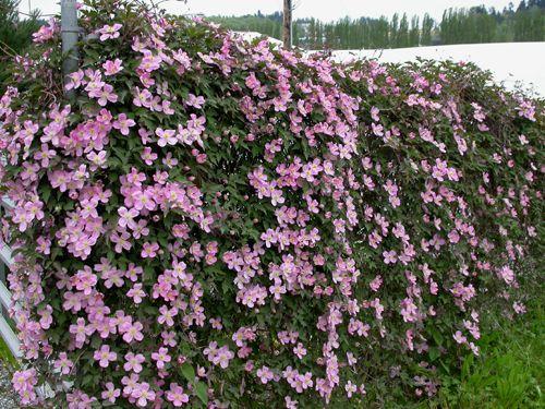 clematis montana var rubens tetrarose anemone clematis. Black Bedroom Furniture Sets. Home Design Ideas