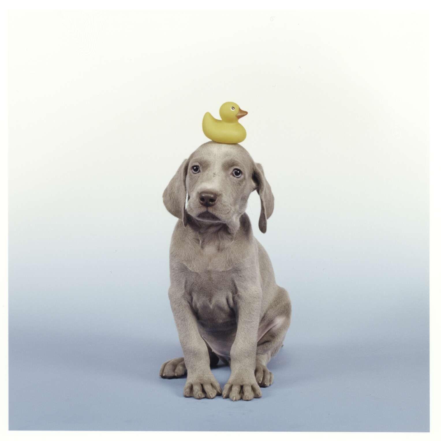 William wegman duck 2003 puppies pinterest weimaraner dog ready to take a bath puppy with duckling nvjuhfo Image collections