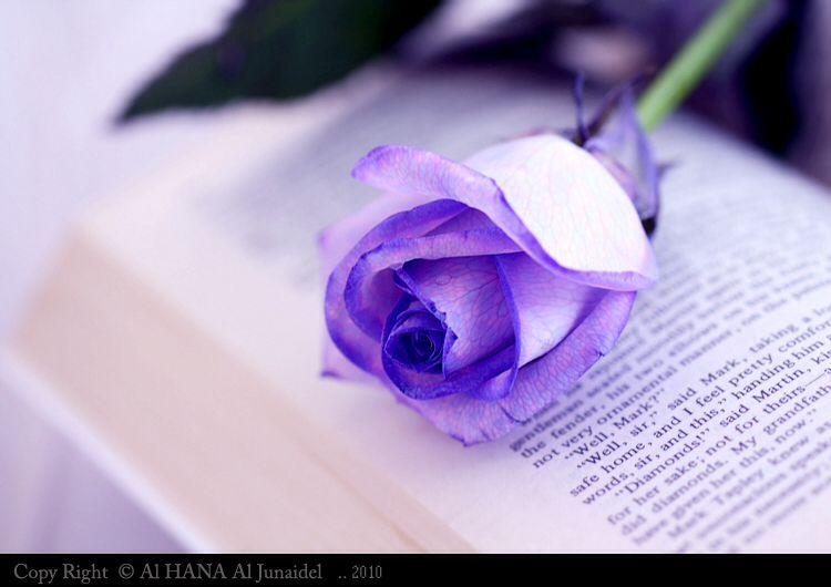 صباحكم بنفسج Purple Roses Rose Purple
