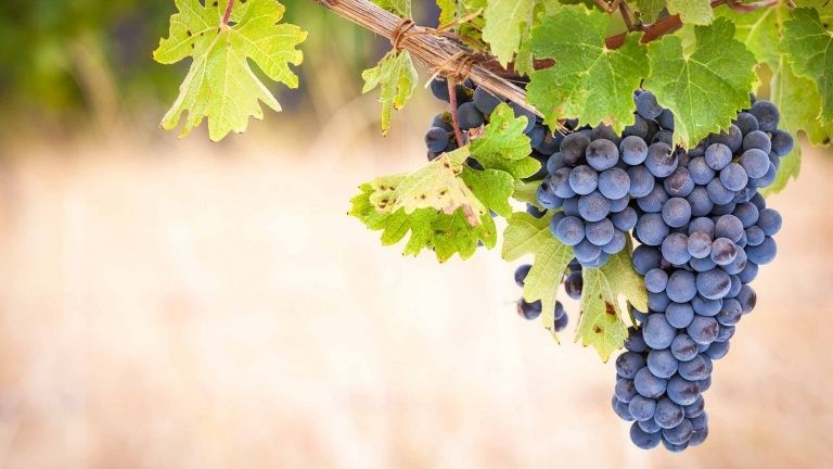 Syrah wine guide, Syrah flavors and aromas, best French grapes ...