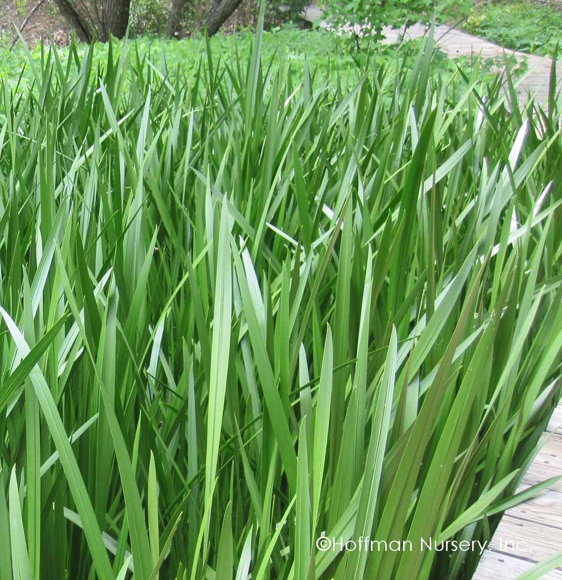 Acorus Calamus Information Acorus Herbs Plants