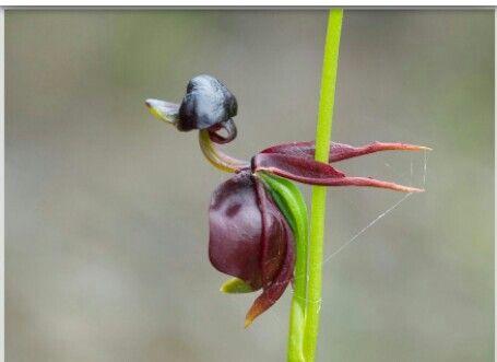 Orquidea pato voador