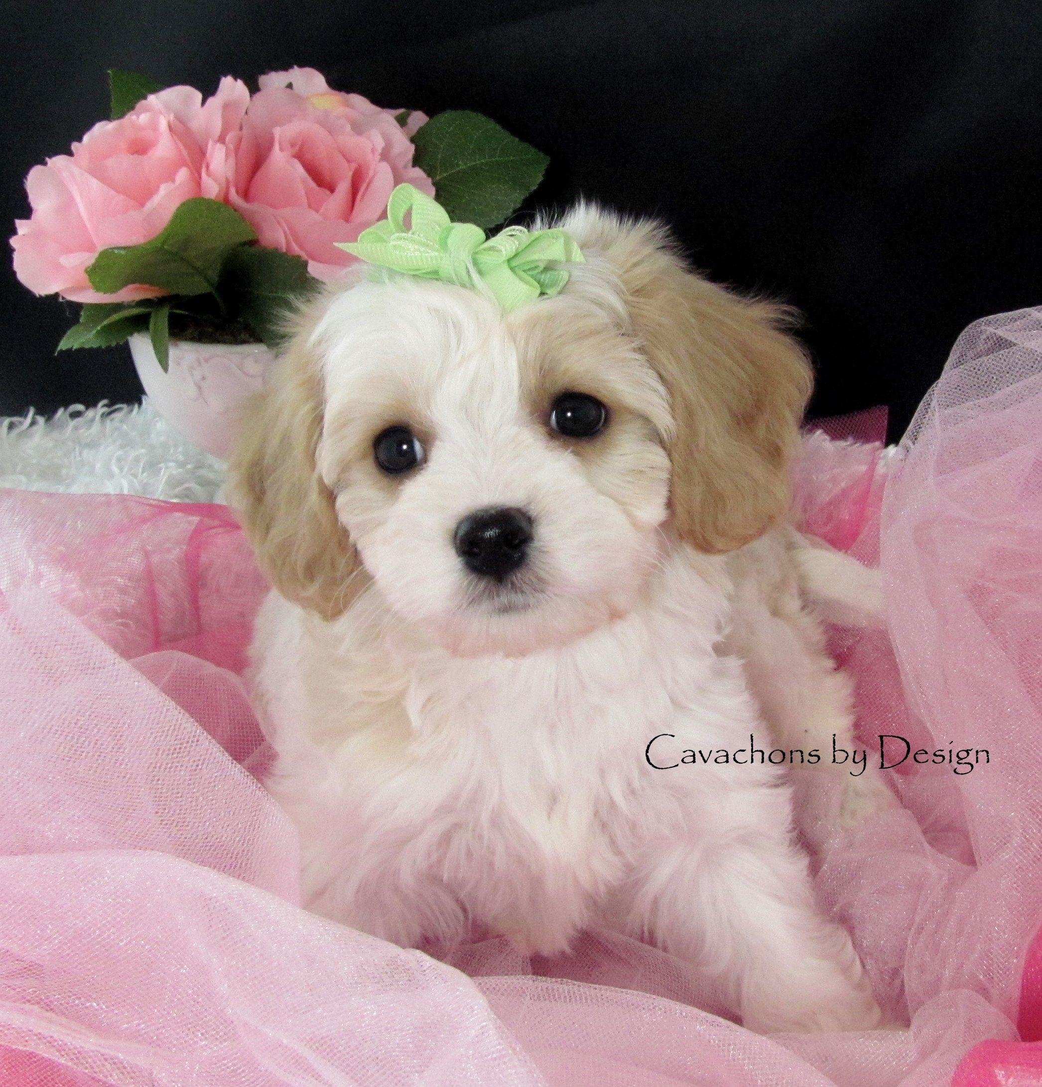 Www Cavachonsbydesign Com Cavachon Puppies For Sale Cavachon Cavachons Cavachon Dog Cavachon Pups Cavachon Pup Cav Cavachon Puppies Cavachon Cavachon Dog