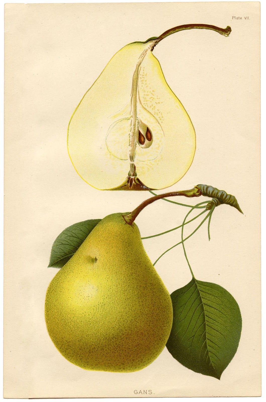 Instant Art Printable - Botanical Pears | Pinterest | Pear, Graphics ...
