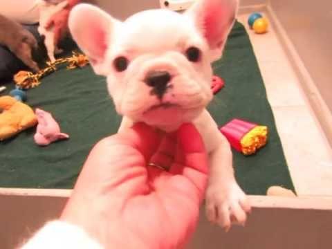 French Bulldog Puppies Oregon French Bulldog Breeders Ally And