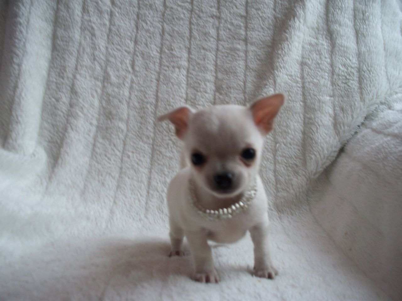Pin By Lydia Fay On Pom Teacup Chihuahua Chihuahua Puppies
