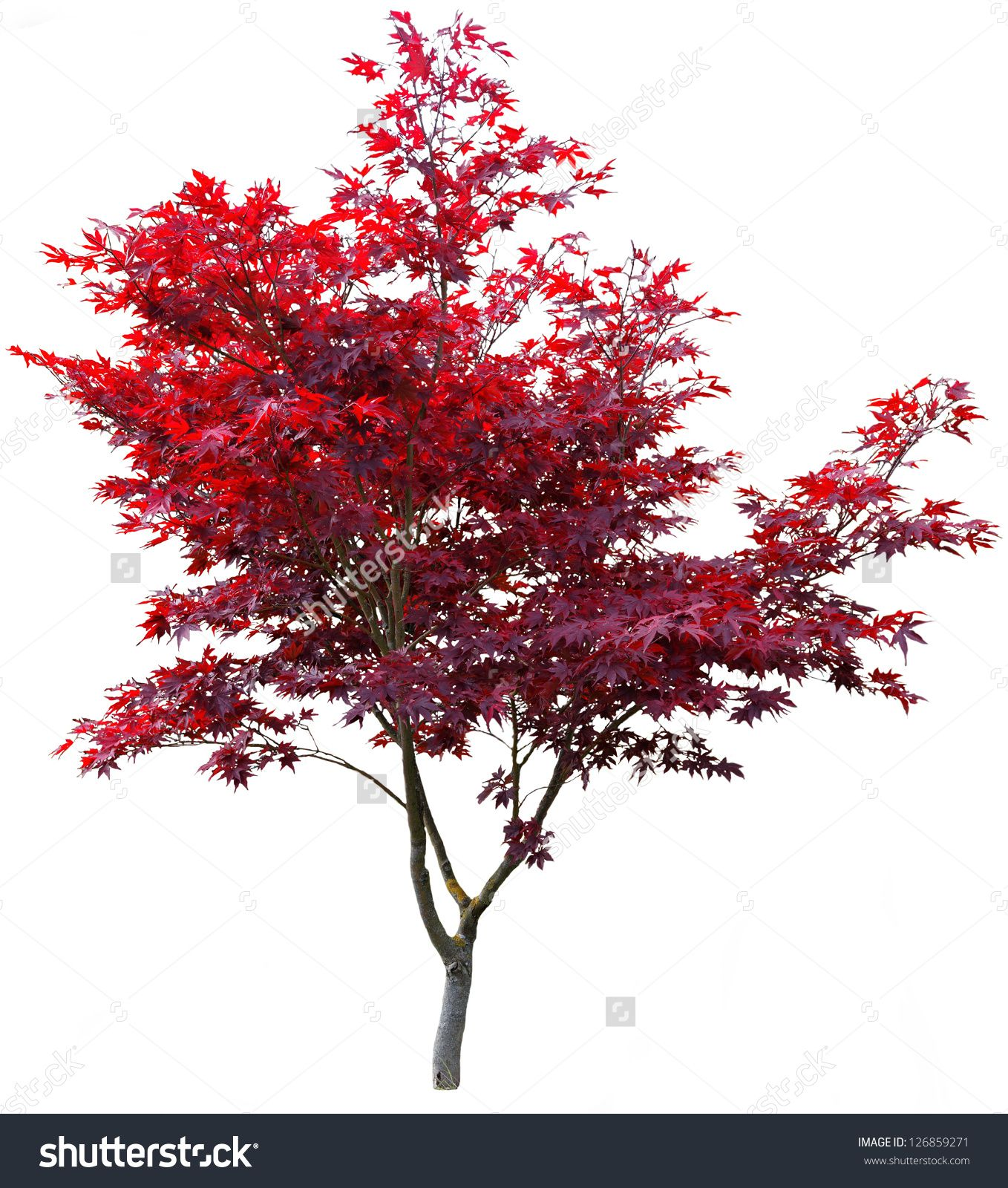 Japanese Maple Tree On White Preview Save To A Lightbox Landscape