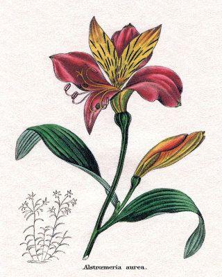 Peruvian Lily Peruvian Lilies Alstroemeria Lily Tattoo