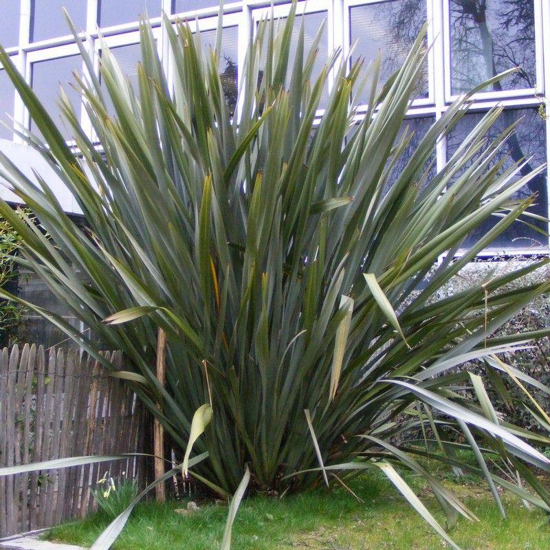 phormium tenax lin de nouvelle z lande vert shrub plants and gardens. Black Bedroom Furniture Sets. Home Design Ideas