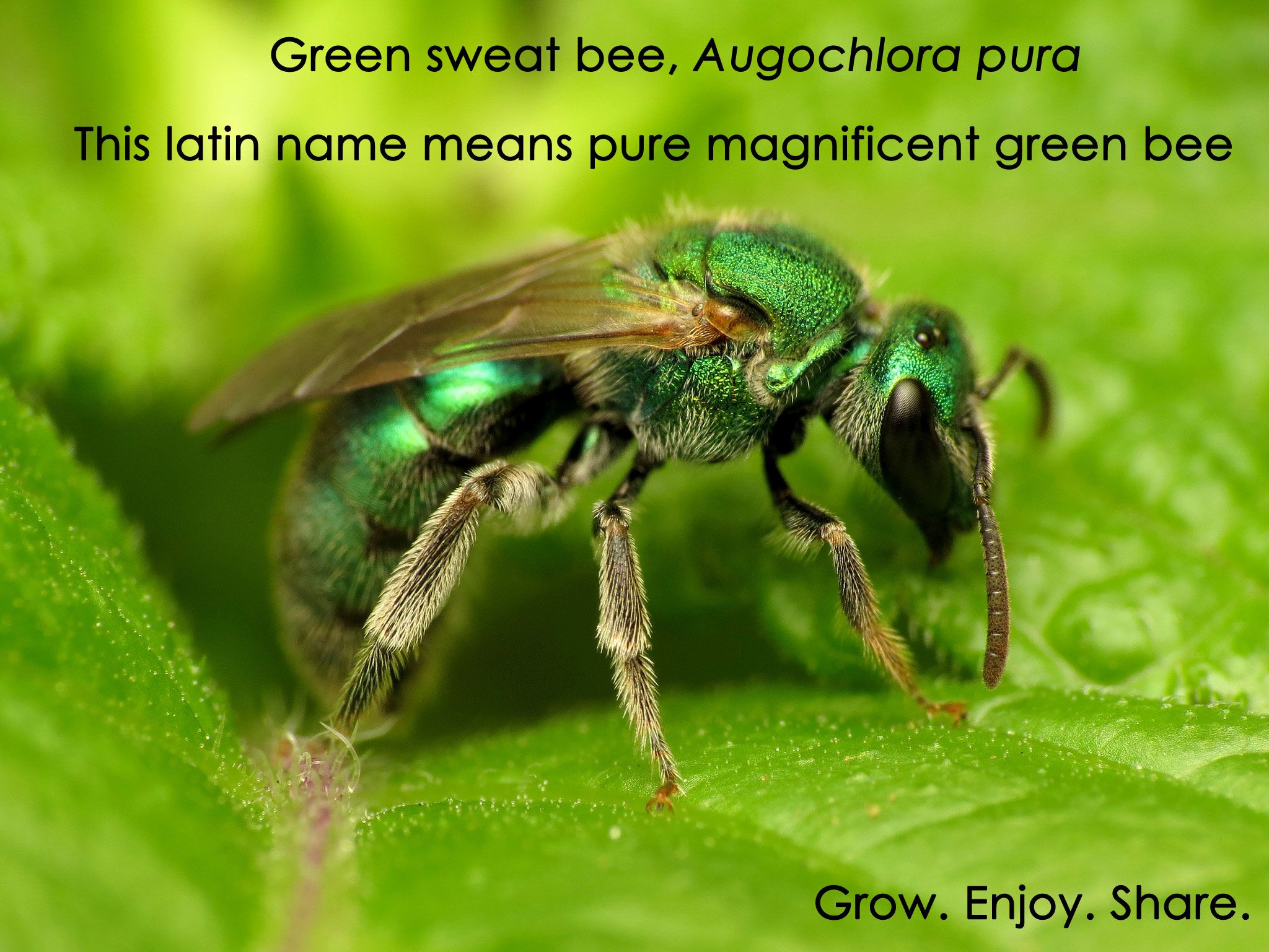 Bees are beautiful sweat bees bee pure products