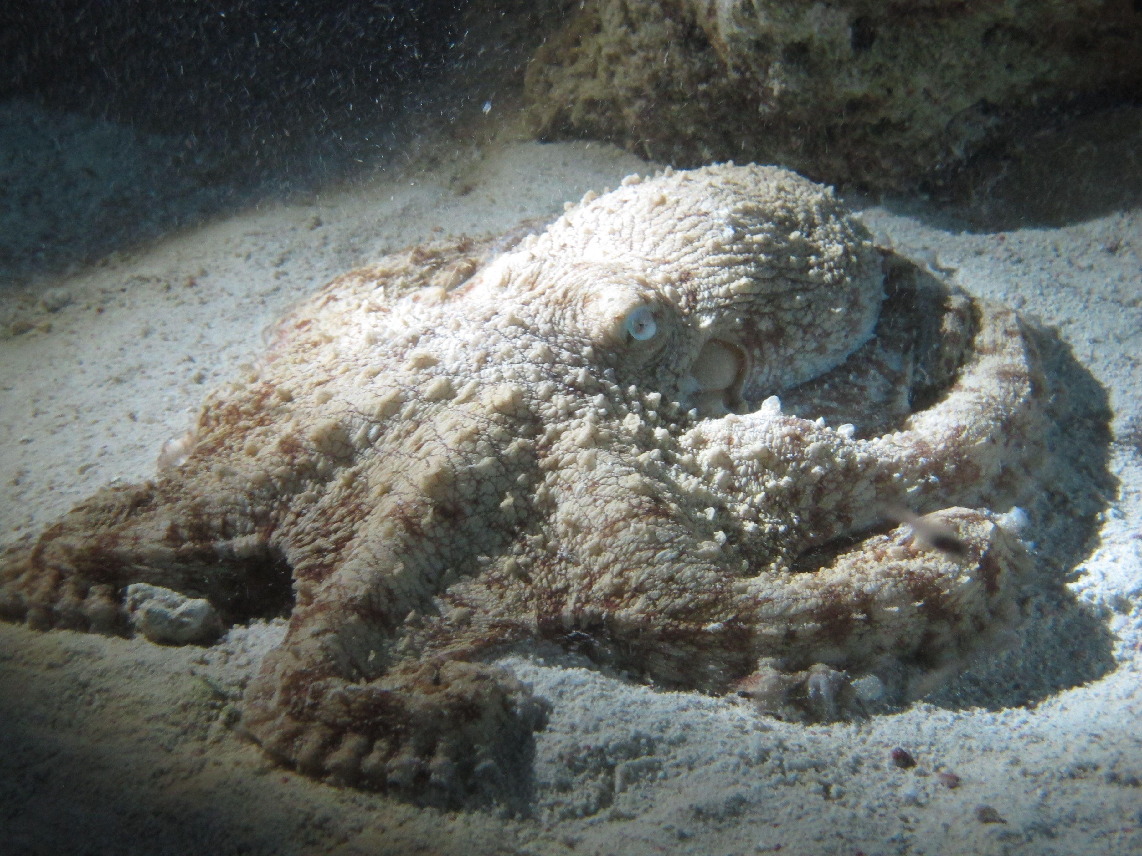 Caribbean Sea Creatures: Octopus, Sea Creatures