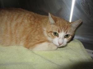 Chalupa Is An Adoptable Domestic Short Hair Cat In Oklahoma City Ok Was Born In Date For More Informa Orange And White Cat Short Hair Cats White Cats