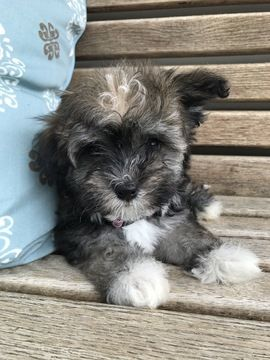 Litter Of 7 Havanese Puppies For Sale In Mount Pleasant Sc Adn 40740 On Puppyfinder Com Gender Female Ag Puppies Havanese Puppies For Sale Havanese Puppies