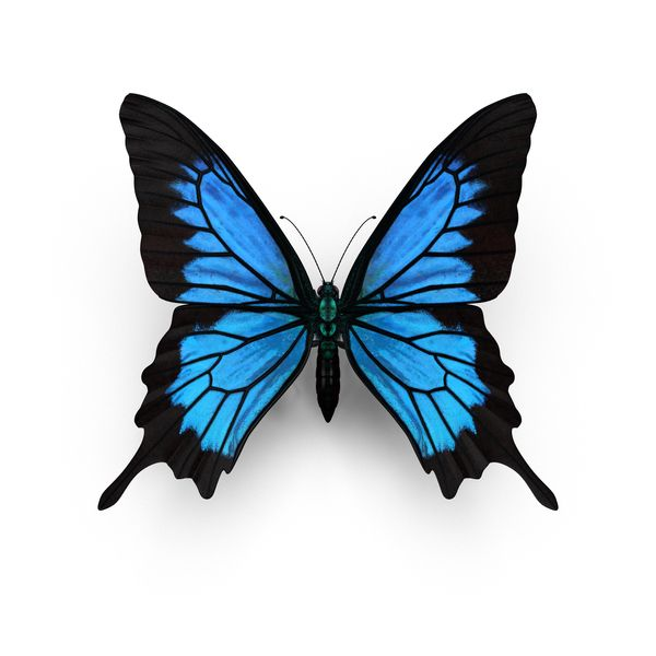Butterfly Drawings: Object Of Papilio Ulysses Butterfly Available For Download