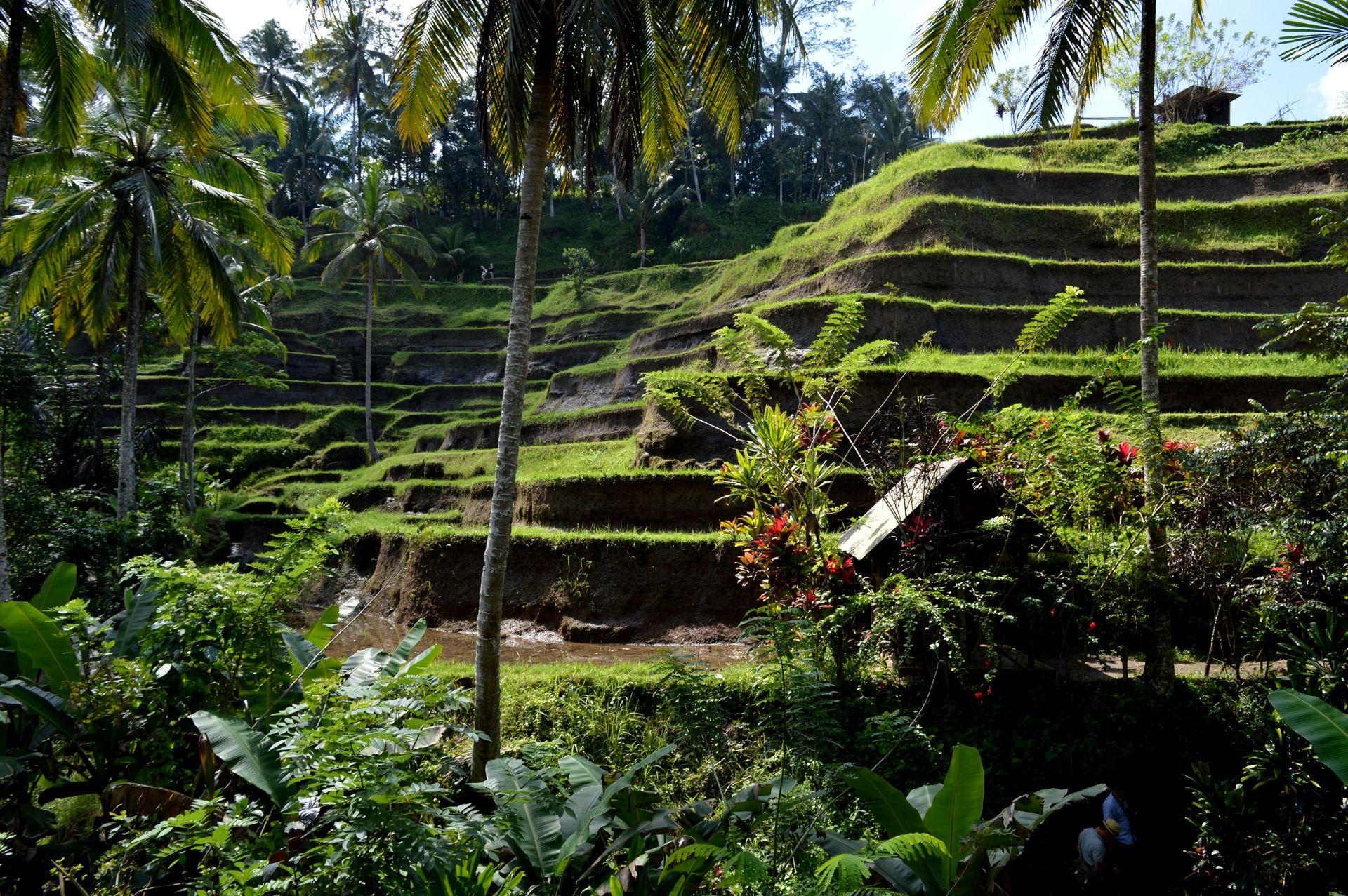 Tegelalang rice terrace in Bali