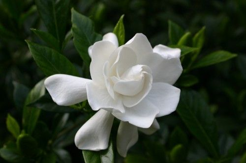 The Oh So Fragrant Gardenia With Waxy Petals This Variety Is August Beauty Fragrant Plant Flowers Plants
