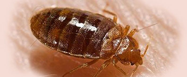 Know The Pests That Might Be Lurking In And Around Your Home Bed