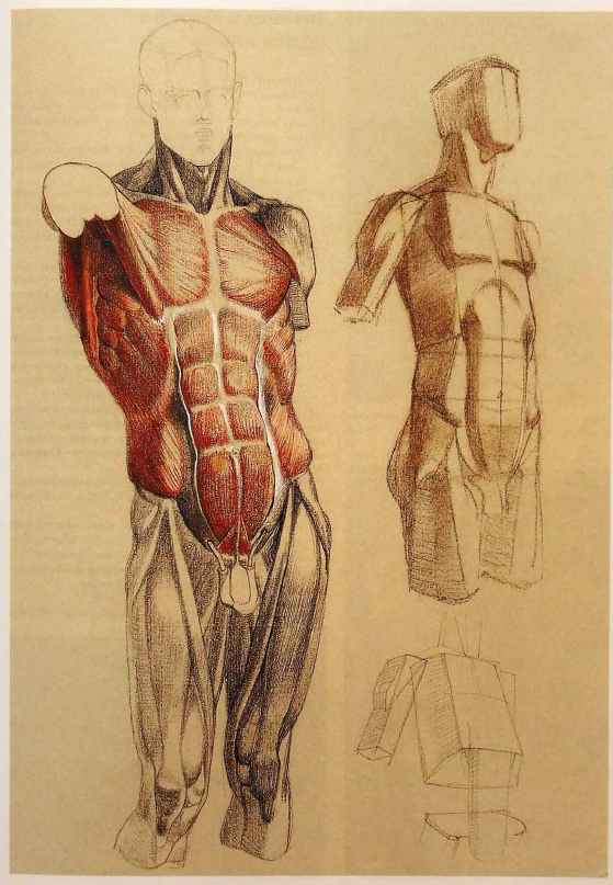 Pin de Dr.Sketch en humans proportions | Pinterest | Anatomía ...