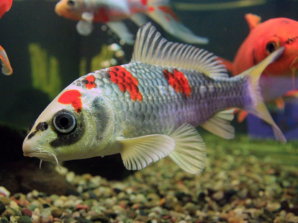Small koi fish for aquarium aquarium fish pinterest for Coy fish aquarium