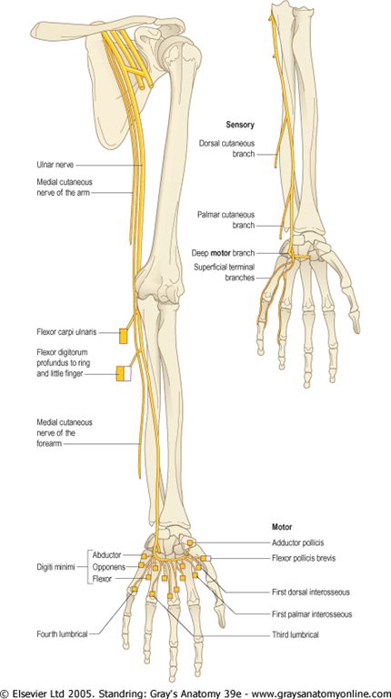 Diagram All Muscles Of Thumb Are Supplied Pollicis By Median