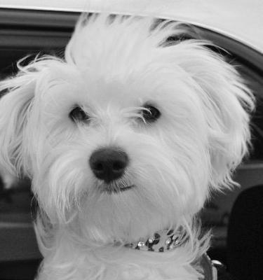 Coton Quickies Coton De Tulear Dogs Coton De Tulear White Puppies